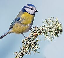 Licheny Tit by Alan Forder