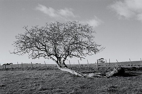 Wind blown tree, Penguin, Tasmania by Alister A Mackinnon
