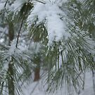 White Pine In Winter by Uni356