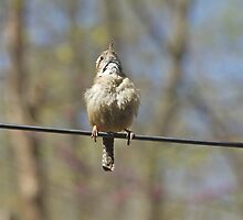 Singing His Heart Out - Carolina Wren - Thryothorus ludovicianus by MotherNature