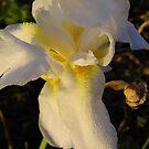 Iris by WildestArt
