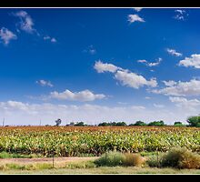 Maricopa Cornfield by KeithBanse