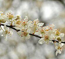 White Cherry by WildatHart