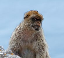 A Barbary Macaques In Gibraltar by Keith Larby