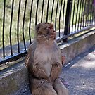 A Barbary Macaque resting In the shade in Gibraltar by Keith Larby