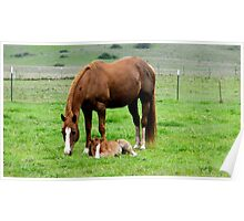 Quarter horse mare and her colt Poster