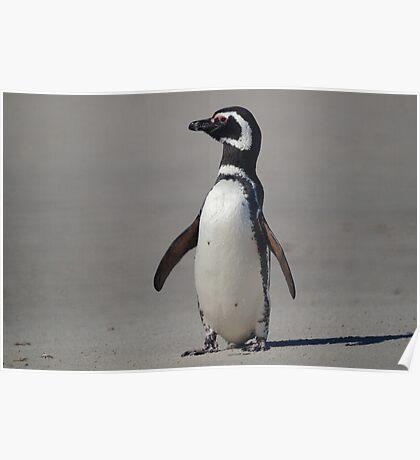 Magellanic Penguin, Falkland Islands Poster