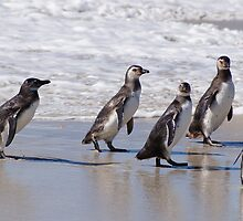 Magellanic Penguins, Falkland Islands by Geoffrey Higges