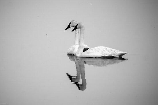 Trumpeter Swans (Cygnus buccinator): Morning Fog by John Williams