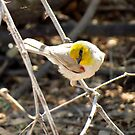 "Verdin ~ Natures 'lil ""Ham"" by Kimberly Chadwick"