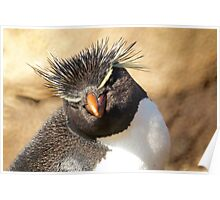 Rockhopper Penguin, Falkland Islands Poster