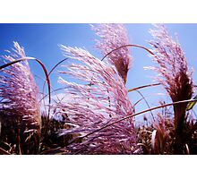 Pink New Zealand Toi Tois - Great Barrier Island Photographic Print