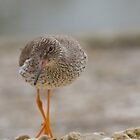 Redshank.. by Lauren Tucker