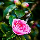 Pink Camellia by mlphoto