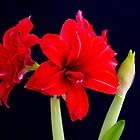 Red Amaryllis by mlphoto
