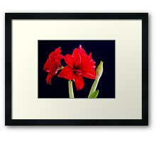 Red Amaryllis Framed Print