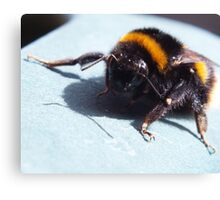 A sunbathing bumble bee Canvas Print