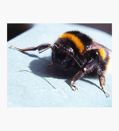A sunbathing bumble bee Photographic Print