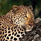 Leopard at Rest by SandraWidner