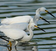 Snowy Egrets by photosbyjoe