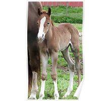 Quarter horse colt Poster
