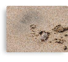 Juvenile Ghost Crab - Playas, Ecuador Canvas Print