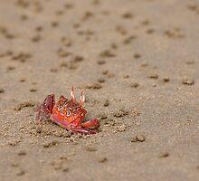 Ghost Crab (Ocypode guadichaudii) 1 by Paul Wolf