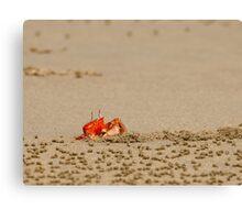 Ghost Crab (Ocypode guadichaudii) 4 Canvas Print
