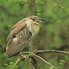Juvenile Black-Crowned Night Heron ~ by Renee Blake