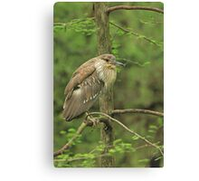 Juvenile Black-Crowned Night Heron ~ Canvas Print