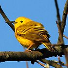 Yellow Warbler by Dennis Cheeseman