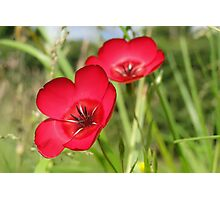 Double Red Flax Photographic Print