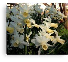 Aggressive Daffodil Canvas Print