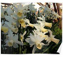 Aggressive Daffodil Poster