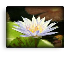 Lovely White Water Lily Canvas Print