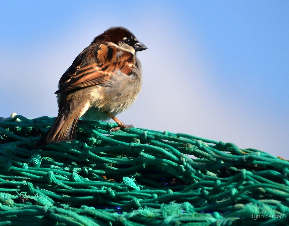 Harbour Sparrow On The Nets by lynn carter