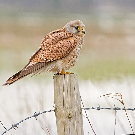Kestrel 3 by Alan Forder