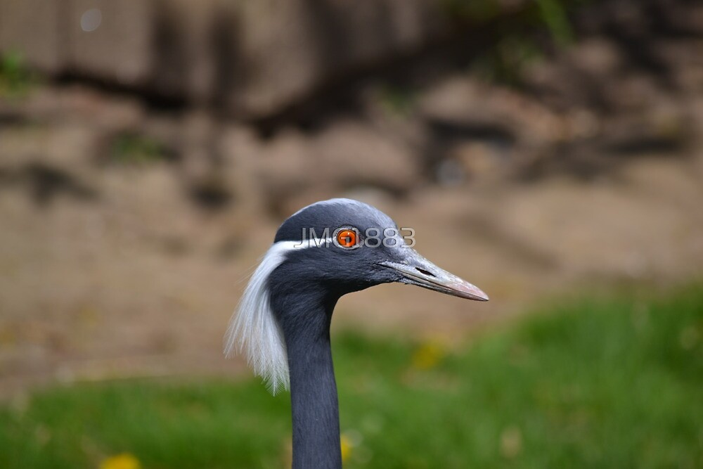 Demoiselle Crane, Red Eyes by JMG1883