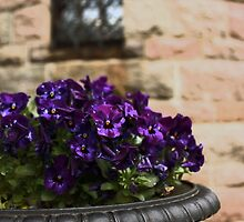 Blue-purple Pansies by AMGunn