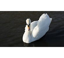 Swanning around Photographic Print