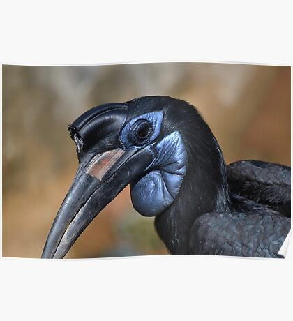 Northern Ground Hornbill Poster