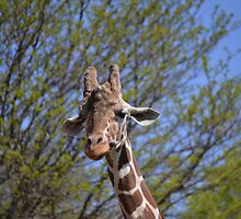 Reticulated giraffe by JMG1883