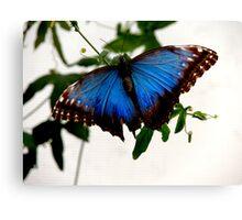 Blue Morpho - Perched Canvas Print