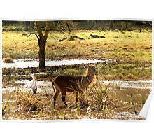 Water Buck Lake Nakuru National Park Africa Poster