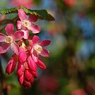 Flowering currant by lauracronin