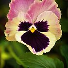 Viola Tricolor by Karen E Camilleri