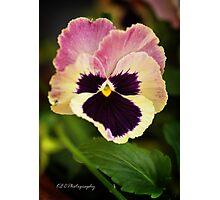Viola Tricolor Photographic Print