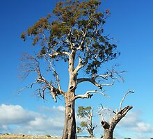Gum Tree  Midlands Tasmania by MisticEye