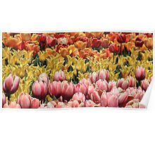 Color Of Tulips Poster
