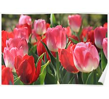 Pink And Red Tulips Poster